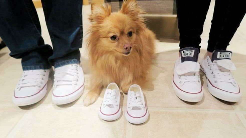 pregnancy-reveal-Pomeranian-dog-converse-trainers