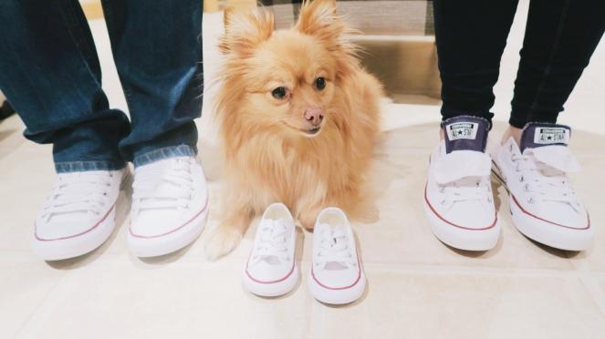 pregnancy-announcement-pomeranian-dog-converse-trainers-shoes